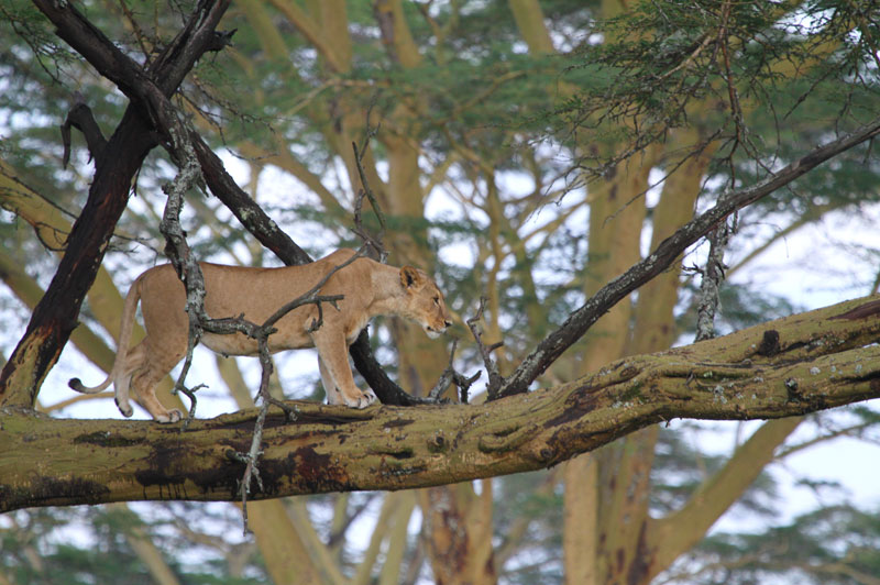 If you think you are safe from lions by climbing a tree, think again.