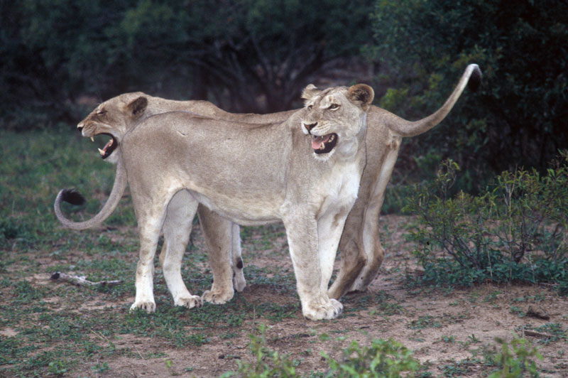 Two young female lions about the same size as the young male I unfortunately shot. Equally unfortunately, the Little Olympus 35 mm Point & Press camera I used over 30 years ago was as unreliable as the photographer and none of my photographs of the hunt came out.
