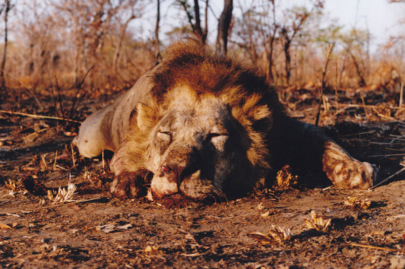 The author shot this big bruiser of a lion on a subsequent hunt in Tanzania.