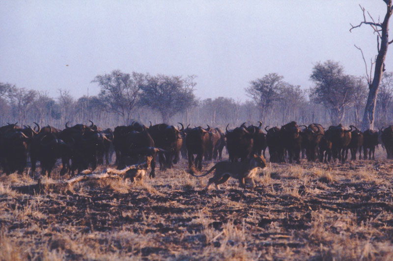 A herd of buffalo seeing off two young lionesses.