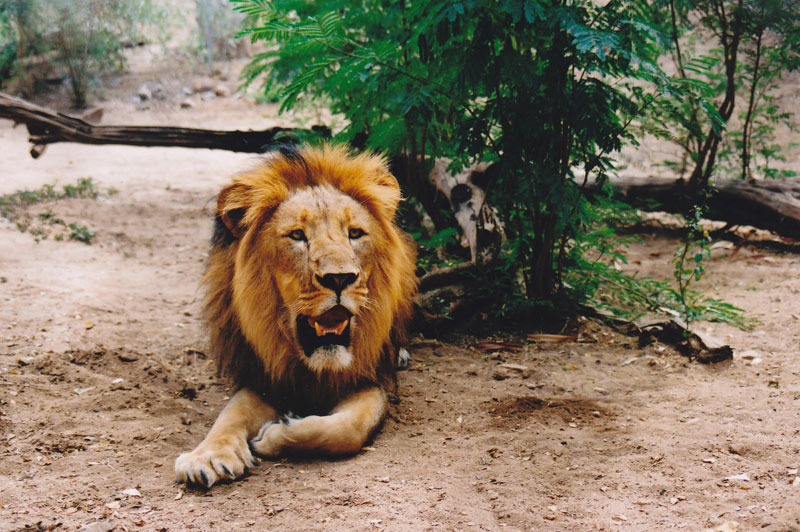 A Barbary lion in Ethiopia's Omo Valley.