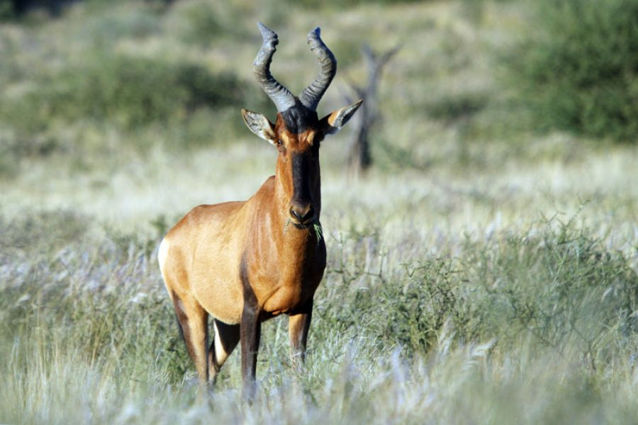 The Five Huntable Hartebeest on Licence in Africa Today