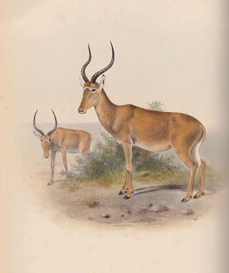 Hunter's hartebeest or hirola, actually a damalisc like our blesbok - a hand coloured picture taken from the Book of Antelopes by Sclater and Oldfield, published between 1899 and 1900 by R.H. Porter.