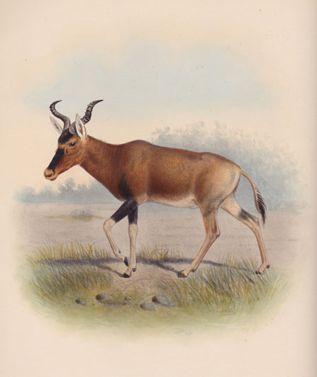 Swayne's hartebeest, a hand coloured drawing taken from the Book of Antelope by Sclater and Oldfield, published between 1899 and 1900 by R.H. Porter. There are said to be no more than 800 left in three small protected areas in Ethiopia from the many thousands that originally roamed over Eritrea, Somalia and Ethiopia.