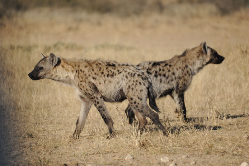 Two juvenile spotted hyenas.