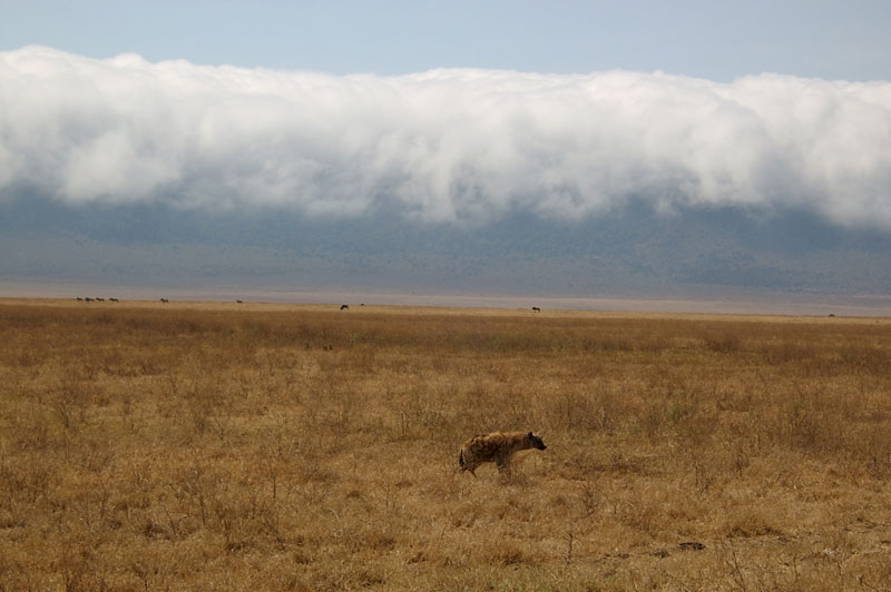 A forlorn, lone spotted hyena on the Serengeti plains.