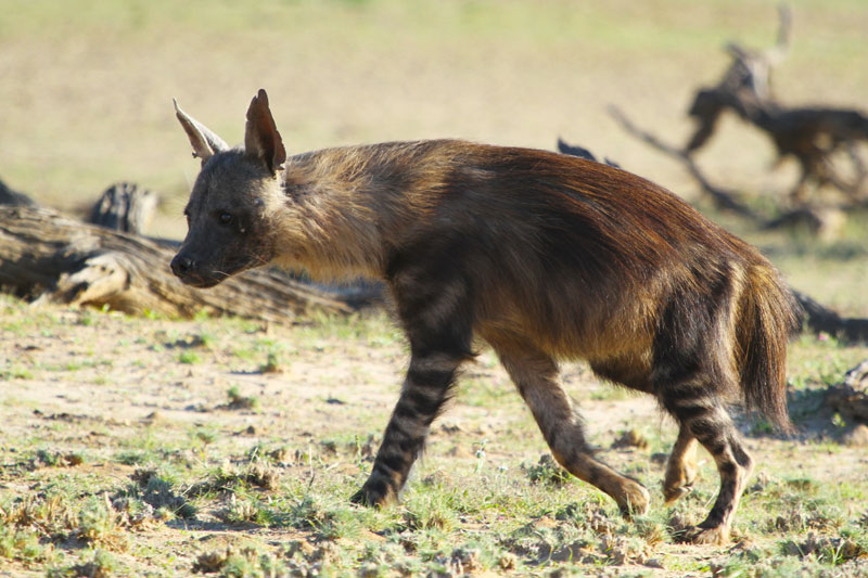 A big brown hyena, probably a female as they are bigger than the males.