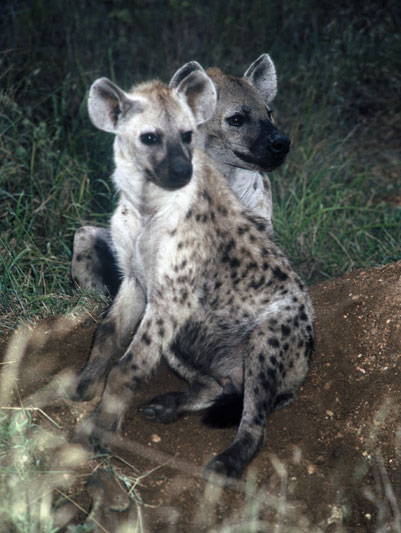 A pair of young spotted hyena.
