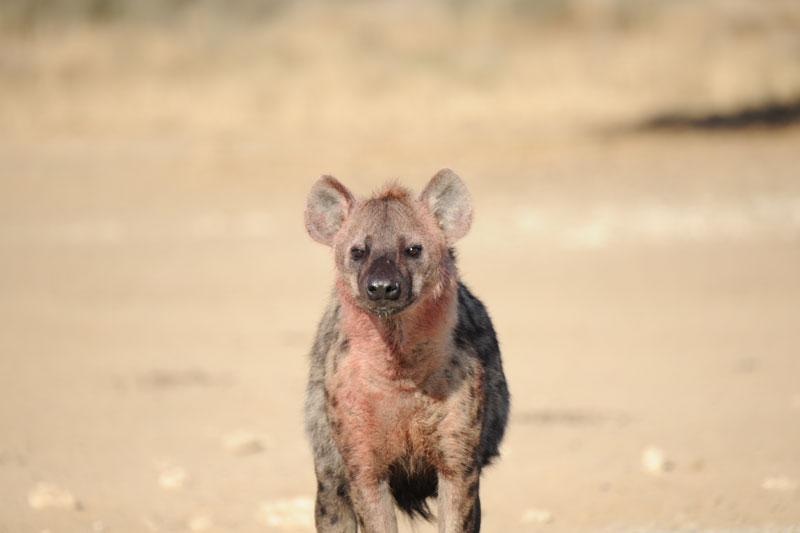 This spotted hyena has been up to its neck inside the kill.