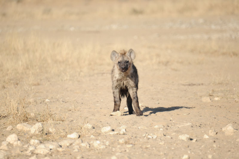 About the only time that hyenas look cute - when they are babies like this young fellow or fellowes. It is impossible to sex young hyenas from a distance.