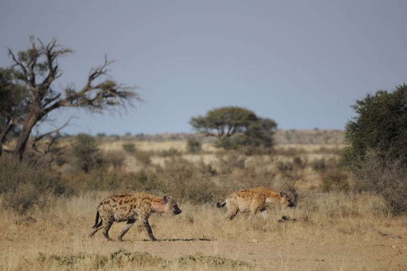 Two hyenas returning to their den after feeding on a kill. In the Kalahari where this picture was taken, research has shown that they are responsible for over 70% of their own kills.