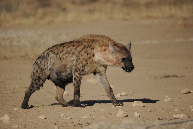 A big bruiser of a hyena. Probably a female as they are usually bigger than the males.