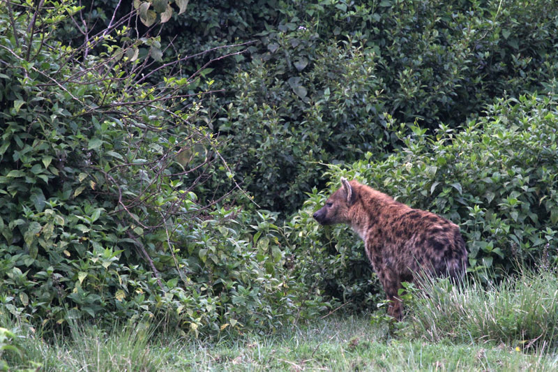 A very dark coloured spotted hyena. No subspecies of hyena are recognized.