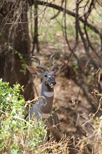 This lesser kudu bull will not stand for long and usually you have less than ten seconds to judge the trophy and take the shot.