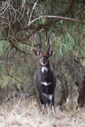 A superb Menelik's bushbuck ram from Ethiopia. Often rated as the most beautiful of all the 11 bushbuck subspecies recognized by both Rowland Ward and SCI together, this ram would rank high in both record books.