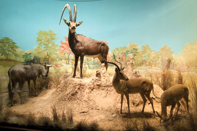 This is one of the original three dioramas prepared by the famous London taxidermist, Rowland Ward and which can be found in the Natural History Museum in London, showing a huge Royal or giant sable from Angola as its centrepiece.