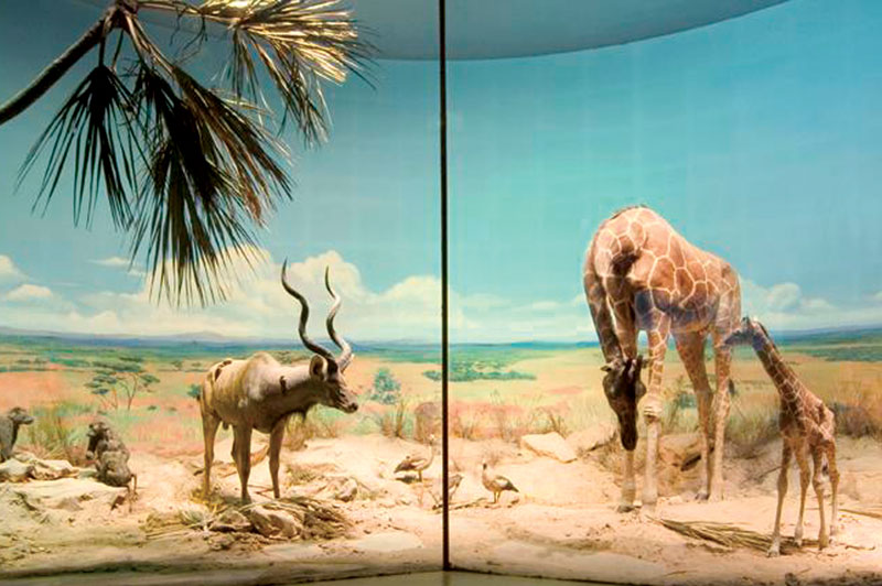 This is the largest of three dioramas prepared by the famous taxidermist, Rowland Ward, for the Natural History Museum in London and showing an extremely large East African greater kudu and two reticulated giraffes as its centrepieces.