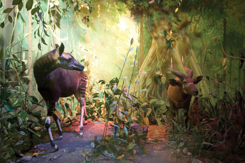 This is one of the three original dioramas prepared by the taxidermist, Rowland Ward for the Natural History Museum in London and shows an okapi and bongo as its centrepieces.