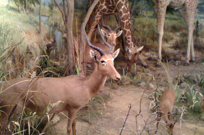 The very rare Hunter's hartebeest in a diorama with a reticulated giraffe in the Powell-Cotton Museum.