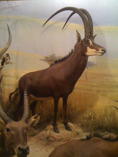 A royal sable in a diorama at the Powell-Cotton Museum.