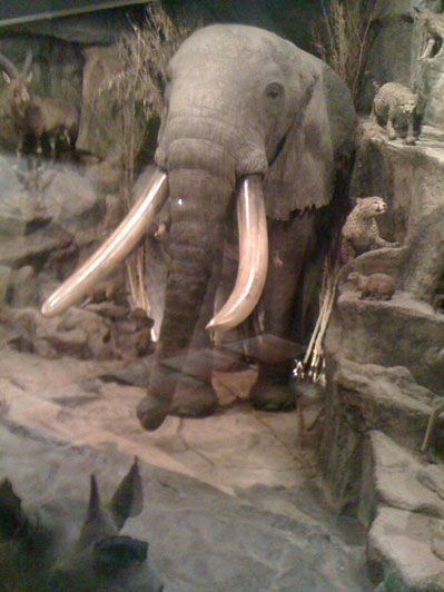 A mount of a huge elephant shot by Powell-Cotton in his natural history museum.