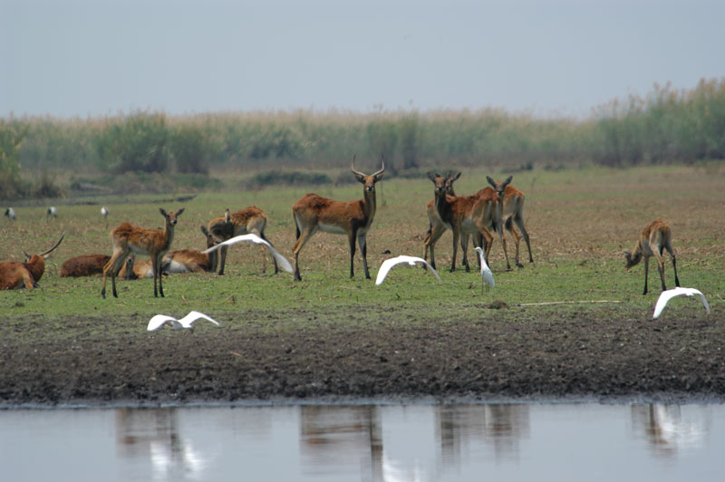 A small herd of black lechwe in the Banqweulu Swamp. Note the young bull in the middle is gradually becoming blacker particularly on the forequarters although very few of them become completely black.