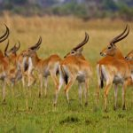 A herd of red lechwe