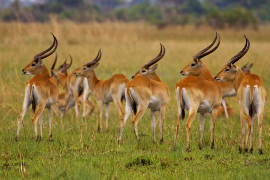 Red Lechwe Ramblings