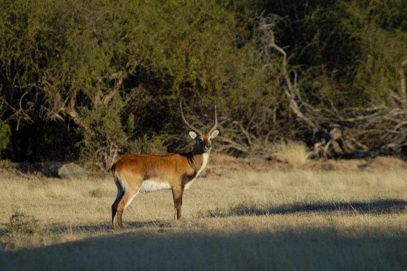 A young Kafue lechwe bull on the author's old game ranch, Bankfontein, in the Eastern cape. Note the black shoulders and legs not present in red lechwe.