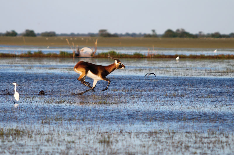 A black lechwe running through the Bangweulu swamps. Very few of these lechwe are predominantly black in colour and most look like Kafue lechwe.