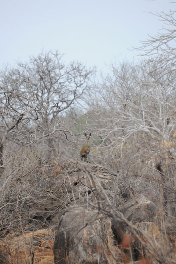A young klipspringer male watches us walk past feeling secure on his rocky perch.