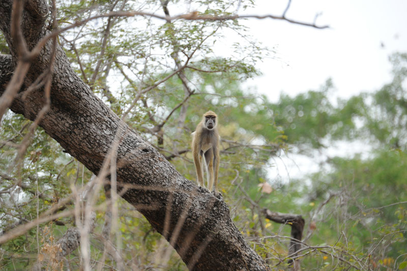 A scrawny yellow baboon watches as walk past.