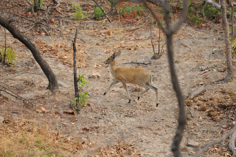 We walked within 30 metres of this old East African bush duiker at the third seep before he noticed us and, almost sheepishly, tip toed away.