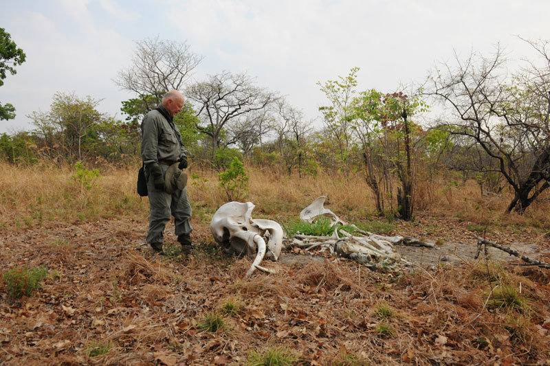 The author gazes down at the carcass of a juvenile female elephant wounded by poachers and left to die. As can be seen, the small, 11 pound tusks remain in the skull. Also note how all the usual vegetation has died around the carcass making it easy to spot from the air. This was one of eight carcasses seen during the hunt and, according to the author's guide, one of thousands in the Niassa Reserve apparently killed to feed the insatiable Chinese ivory carving market.