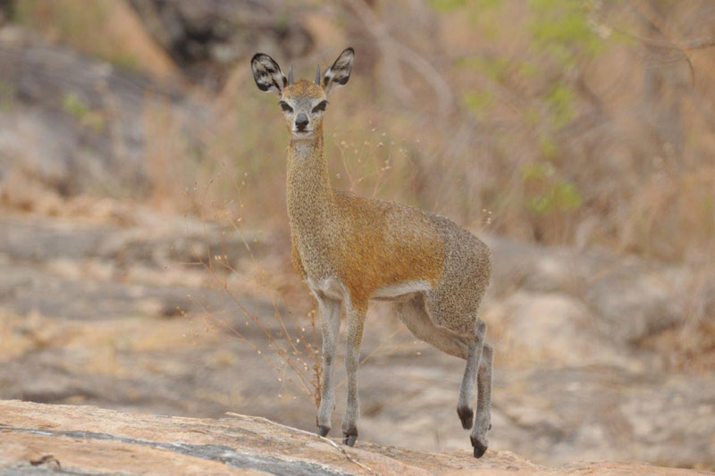 We spent the last day of the safari taking photographs. Using his homemade predator call, my guide, Ryan Cliffe, lured this young klipspringer - here stamping his feet - to within 14 paces of where he lay behind a small rock.