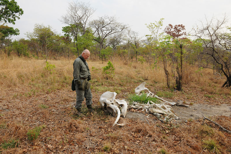 The author and the remains of a young elephant cow, one of eight carcasses he saw during his safari. The cow was obviously wounded, escaped and died later because the tusks were still there whereas the tusks had been hacked out of the other carcasses.