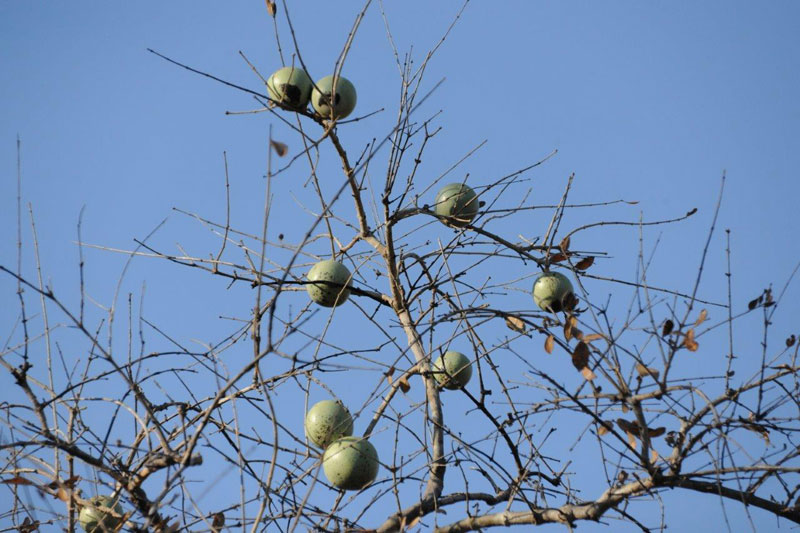 Monkey apples are a favourite eland food where ever they are found in Africa.
