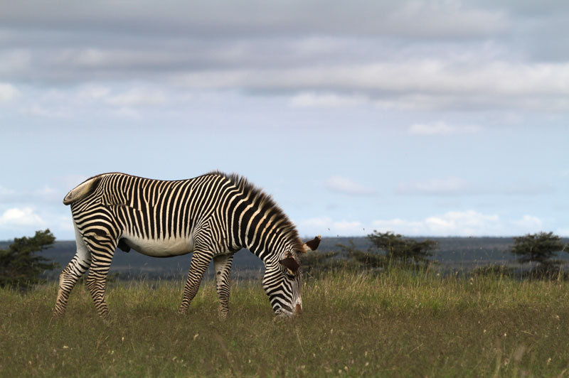Grevy's zebra stallion named after a French prime minister.