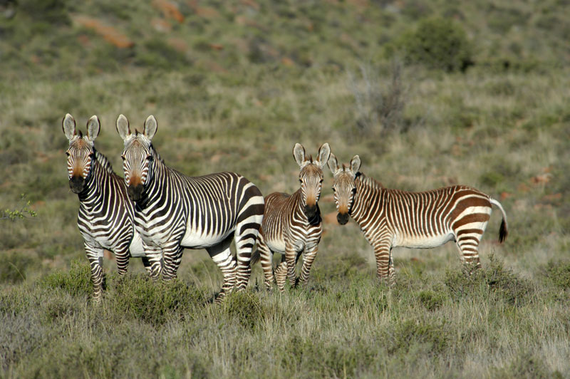 Two Cape mountain zebra mares with their offspring on Bankfontein game ranch in the Eastern Cape's Karoo.