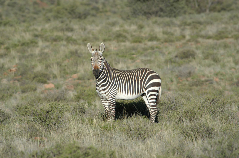 A Cape mountain zebra stallion on Bankfontein game ranch in the Eastern Cape's Karoo.