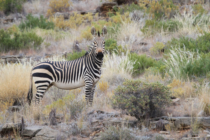 Hartman's mountain zebra stallion.