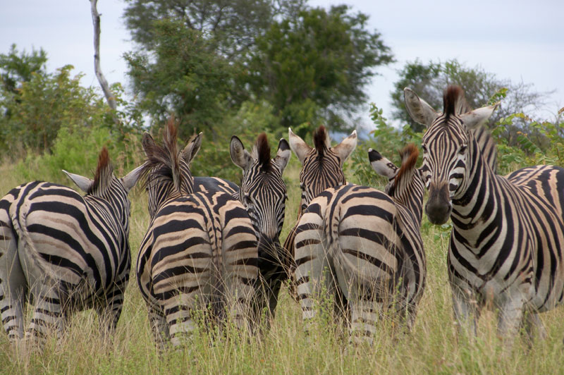 Burchell's plains game zebra. Note the brown or shadow stripe in the white stripe.