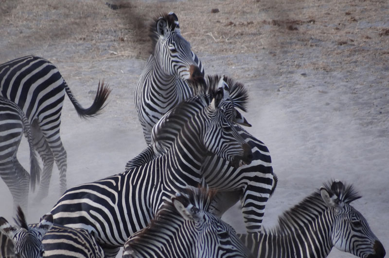 East Africa plains zebra in the Selous game reserve. Photo courtesy of Christophe Morio.
