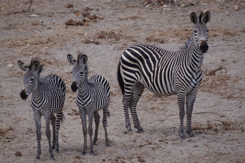 East Africa plains zebra - a mare and two youngsters.