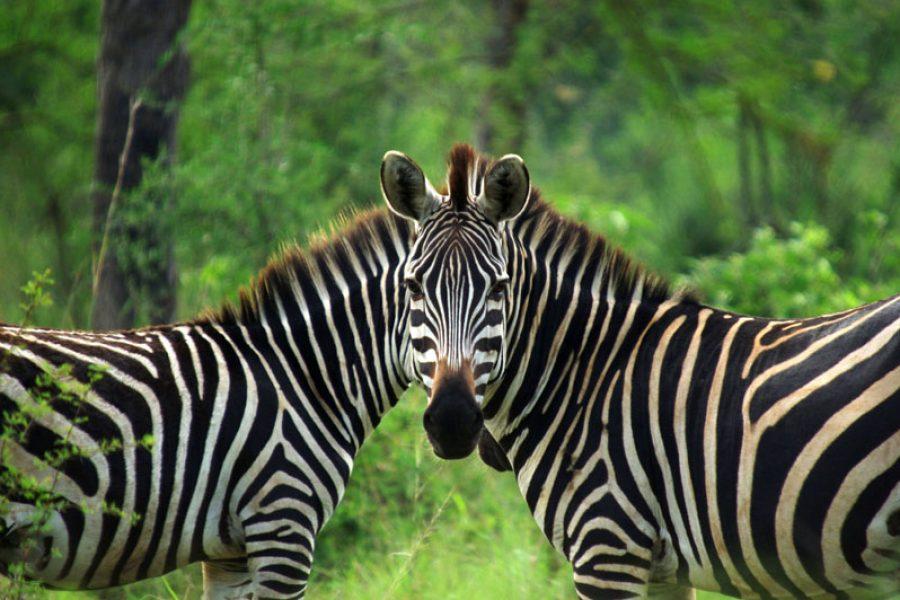 Zebra – Pyjama Clad Horses?