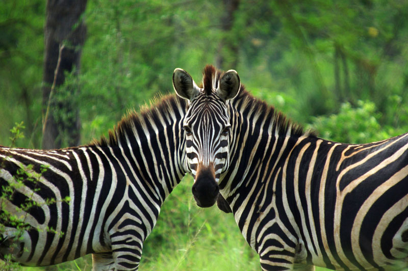 East African plains game zebra. Note the absence of shadow stripes in the white stripes. Photo courtesy of Andy Gooch.