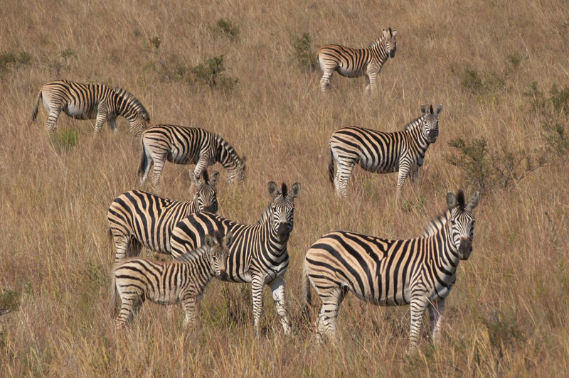 Burchell's plains game zebra herd.