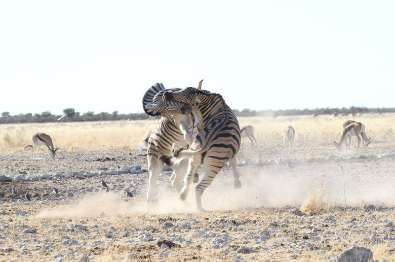 Two Burchell's plains zebra stallions fight at an Etosha game reserve waterhole in Namibia. Photo courtesy of Richard Flack.