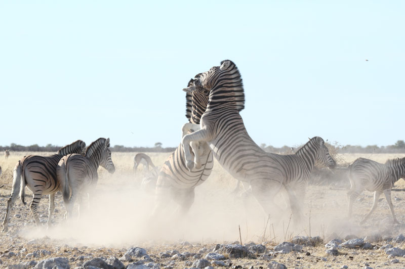 Two Burchell's plains zebra stallions fight at an Etosha game reserve waterhole in Namibia. Photo courtesy of Richard Flack