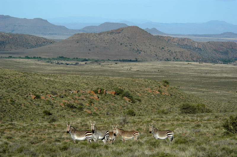 A typical Cape mountain zebra family unit - two mares, their recent offspring and a stallion on the right - on Bankfontein game ranch in the Eastern Cape's Karoo.